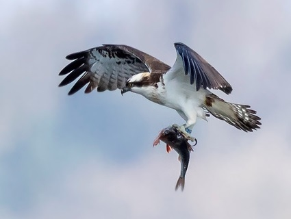 Free resources for schools about satellite tracking of ospreys and more about these birds
