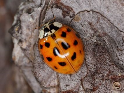 Through the winter you can get involved with a national Harlequin Ladybird Survey - using your mobile phone if you like!