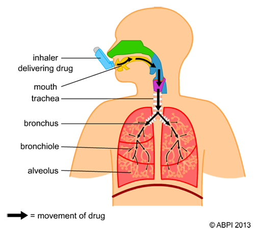 Breathing and asthma schoolscience breathing and asthma ccuart Images