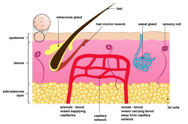 Homeostasis-blood sugar and temperature